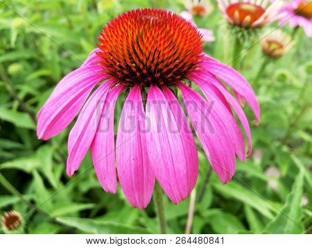 Blooming Flower Echinacea With Leaves, Living Natural Nature, Aroma Bouquet Flora. Echinacea Flower