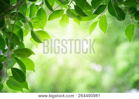 Close Up View Of Nature Green Leaves On Blurred Greenery Tree Background With Sunlight In Public Gar