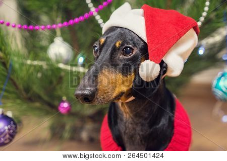 Cute Dog Breed Dachshund, Black And Tan, Under A Christmas Tree In Santa Red  Hat  Celebrating Chris
