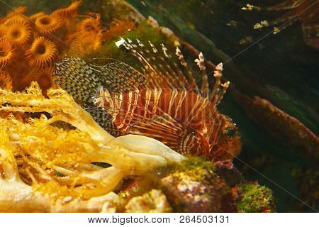 Spotfin Lion (pterois Antennata), Also Known As The Broadbarred Firefish Among The Underwater Coral