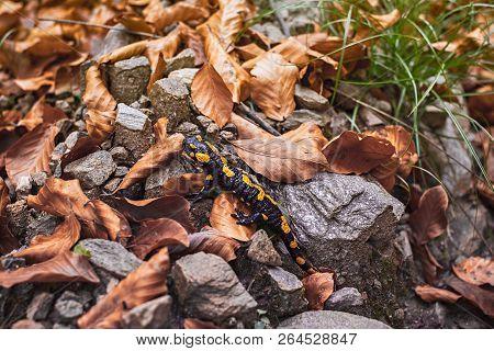 Europaean Fire Salamander (salamandra Salamandra) Romania, Sibiu County