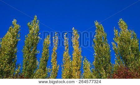 Lombardy Poplar Tree Tops Against Blue Sky On A Windy Day. Abstract Natural Background. Autumn Trees