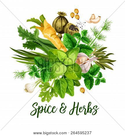 Spice And Herbs, Vector. Bunch Of Green Leaf, Seed, Flower And Roots Of Culinary Greenery. Basil, Ro