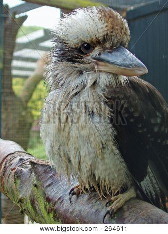 Kookaburra Eyes Right