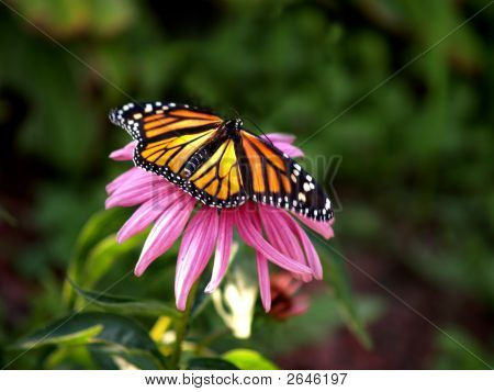Monarch With Wings Spread