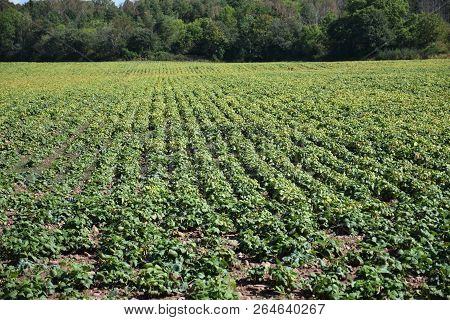 Farmers Field With Rows Of Growing Brown Beans Plants At The Swedish Island Oland