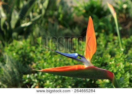 Closed Up Vivid Orange And Blue Bird Of Paradise Flower With Vibrant Green Foliage In Background