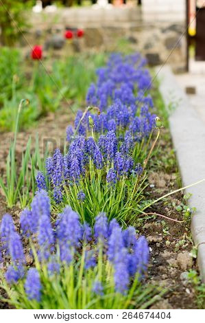 Blue Flowers Growing On A Green Lawn Carpet, Ajuga Reptans