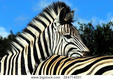 This almost abstract close up of two beautiful Zebras together remind us that all are not of the same stripe.  A great metaphor for a common humanity in these difficult times.