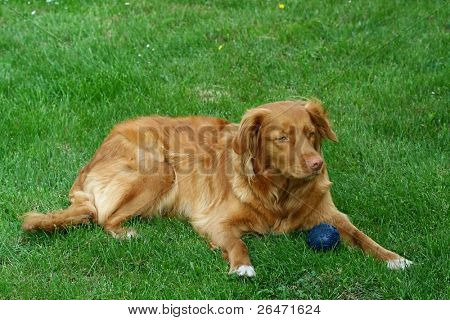 "My dog   - "" Nova Scotia Duck Tolling retriever """