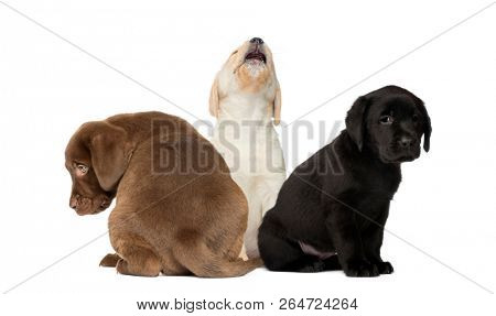 Labrador Puppy sitting, Labrador Retriever Puppy sitting, in front of white background