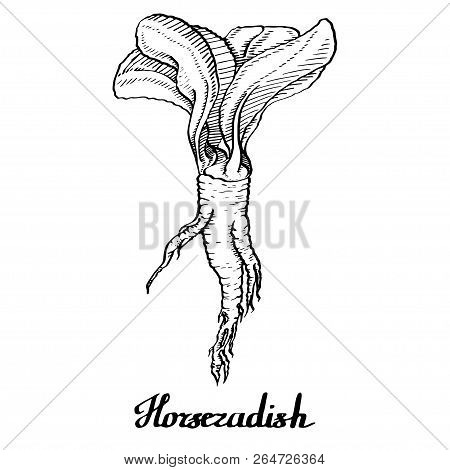 Horseradish Vector Calligraphy  Poster For Web, Textile, Branding, T-shirts, Cards, Craft