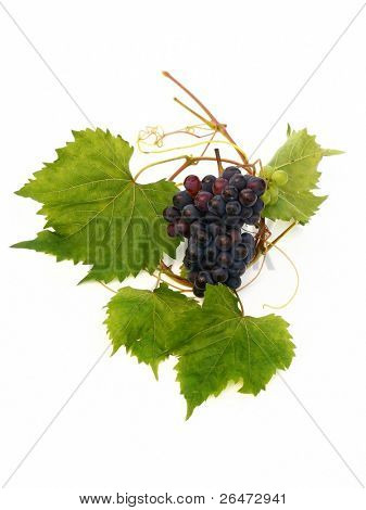 wine bottle and young grape vine branch in early summer