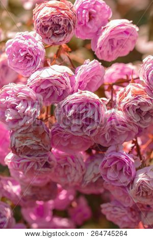 Blooming Bush With Roses Rose Lots Of Pink In Bloom A