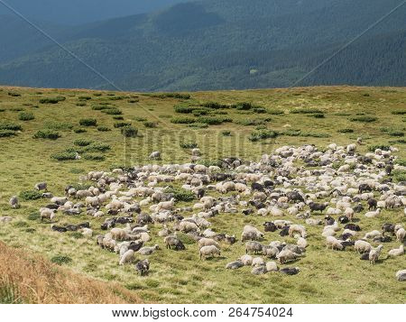 Herd Of Sheep Are Grazing On Mountain Pasture. Carpathians Mountains At Summer, West Ukraine. Far Hi