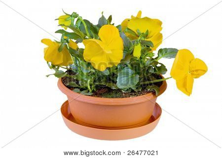 Yellow pansy in flowerpot,, on white background