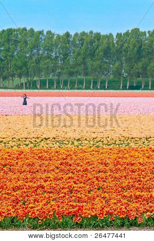 Big field color tulips in Netherlands