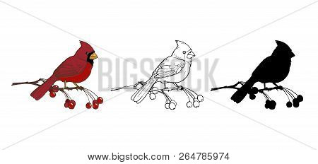 Northern Cardinal, A Bird Of The Family Of Finches, Color, Black And White Image And Silhouette On A