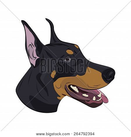Doberman Pinscher Face Isolated On White Background. Dobermann Panting With Tongue Out. Watchdog Por