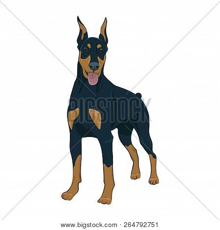 Doberman Pinscher Standing Isolated On White Background. Dobermann Standing And Panting With Tongue