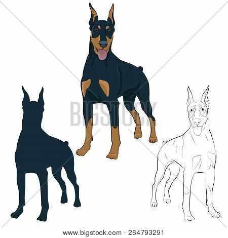 Dobermann Standing And Panting With Tongue Out. Watchdog For Your Design. Doberman Pinscher Standing