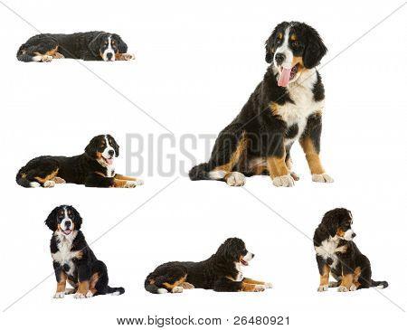 collage puppy bernese mountain dog - 4 months (berner sennenhund, bernois)