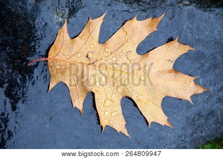 Fallen pin oak leaves in the autumn rain on a black granite stone, raindrops on the leaves, cloudy w