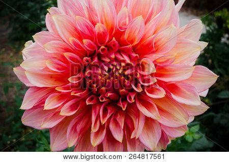 Close-up Of A Pink Ball Dahlia.  Flower In The Light Of The Morning Sun. View To Blooming Dahlia Flo