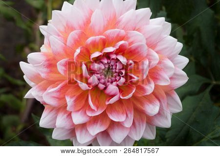Beautiful Pink Dahlia Dahlia . Dahlia Flower. Close-up Of A Pink Dahlia (asteraceae) View To Bloomin