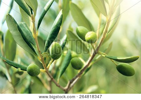 Olive Branch With Leaves And Green Olives. Olive Tree Close Up In Greece, Corfu. Mediterranean Plant