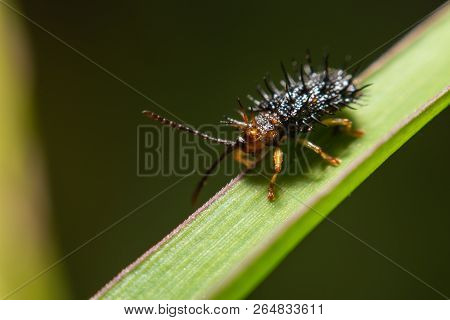 Macro Photography Of Shield Bug On Green Leaves In Nature.