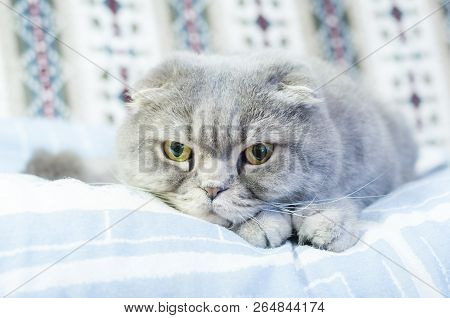 Scottish Folds are hardy cats and their disposition matches their sweet expression. They adore human companionship and display this in their own quiet way poster