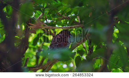 The Scaly-breasted Munia Or Spotted Munia, Known In The Pet Trade As Nutmeg Mannikin Or Spice Finch,