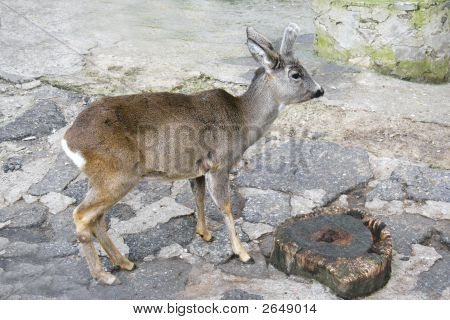 close up of young deer in zoo poster