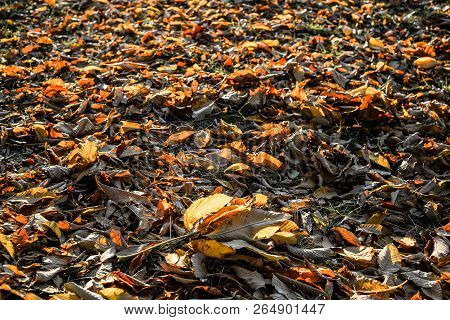 Fall Background. Fallen Autumn Leaves On Bright Green Grass In Sunny Morning Light. Fall Season Natu