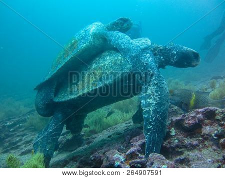 Two Marine Turtle Mating Underwater On Galapagos Islands Ecuador