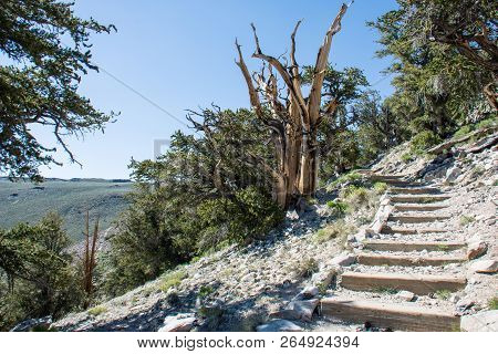 Hiking Trail Through The Schulman Grove In Ancient Bristlecone Pine Forest In California Inyo Nation