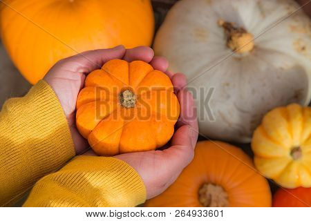 A Pair Of Human Hands Holding A Tiny Pumpkin Called A Munchkin Over A Selection Of Different Winter