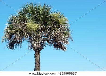 One Single Palmetto Tree Against Blue Sky