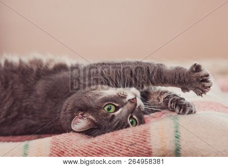 poster of Funny resting cat in the day, sleepy cat, young cat in bed, half sleepy cat with open eyes. Pet lying on a plaid blanket