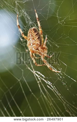 Diadem Spider In Web
