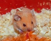 Hamster home in keeping in captivity. Hamster in sawdust. Red hamster. poster
