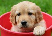 Beauty puppy in red bucket в?? Golden retriever poster