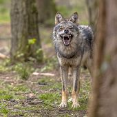 Agressive European grey Wolf (Canis lupus) growling from behand tree as warning of defense. Vicious teeth are shown to scare off the attacker. Instagram format poster