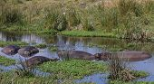 Hippo Pool in the Ngorongoro Crater Tanzania Africa poster