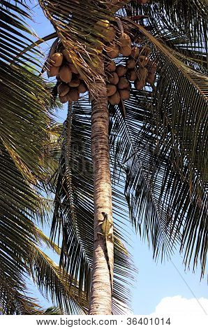 Green Iguana sunning himself on the trunk of a coconut palm tree poster
