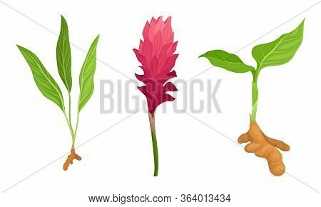 Green Turmeric Flowering Plant With Root And Fibrous Leaves Vector Set
