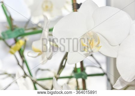 Closer Look At The Head Of The White Orchid. Macro With Selective Focus.