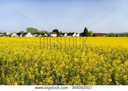 Ripened Rapeseed On A Field In Western Germany, In The Background A Blue Sky, Natural Light.