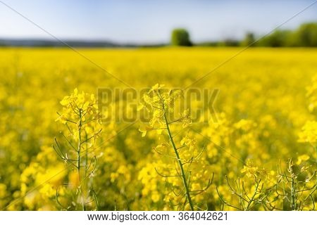 Ripening Rapeseed Flower Close Up, In The Background A Field Of Rapeseed, On A Beautiful Sunny Day,